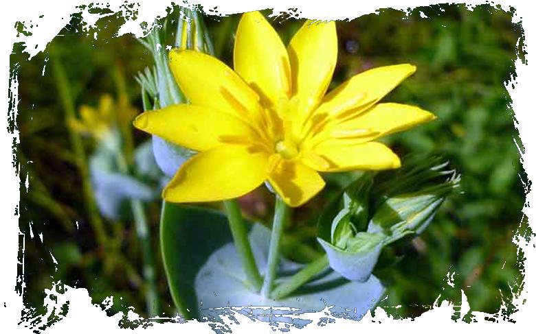 centaure-jaune